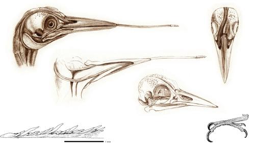 woodpecker-tongue